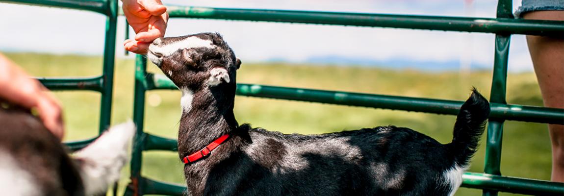 baby goat slider